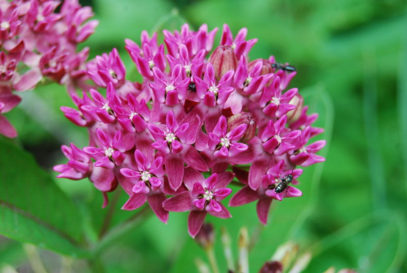 Asclepias purpurascens L.