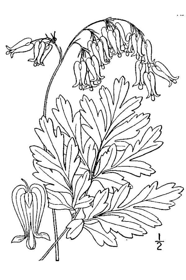 dicentra-eximia-usda