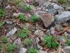 Dicentra eximia habitat