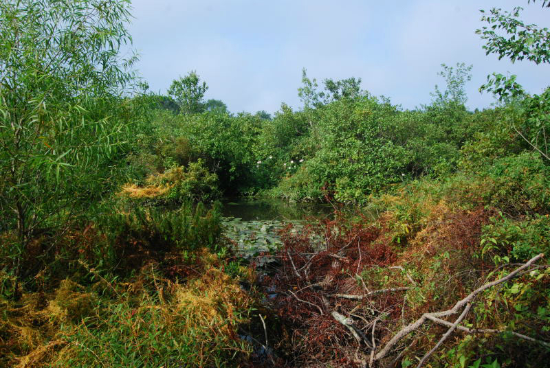 Shrub Habitat Menantico Creek Vineland