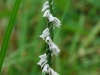 Grass Leaf Ladies Tresses