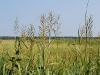 Big Cordgrass