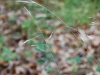 Danthonia compressa