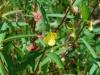 Ludwigia altenifolia