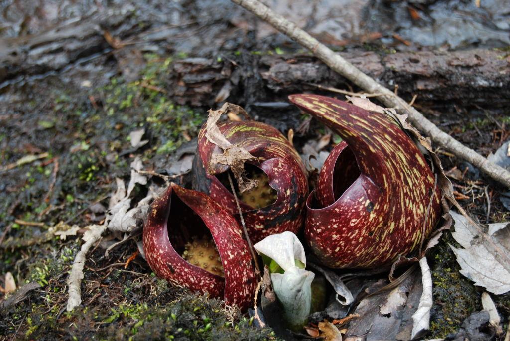 Symplocarpus foetidus, Skunk Cabbage
