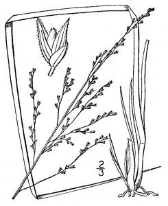 Panicum rigidulum var. pubescens