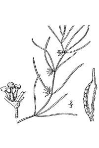 zannichellia line drawing