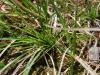 Carex tonsa