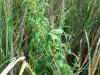 Chenopodium rubrum