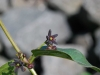 Cynanchum louiseae - Black Swallow-wort