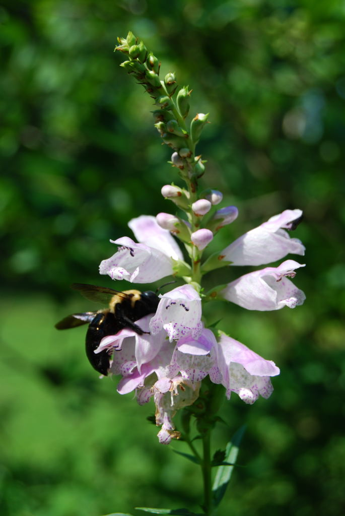 Carpenter Bee on Obedient Plant