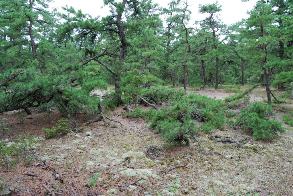 Pitch Pine with skirt branching