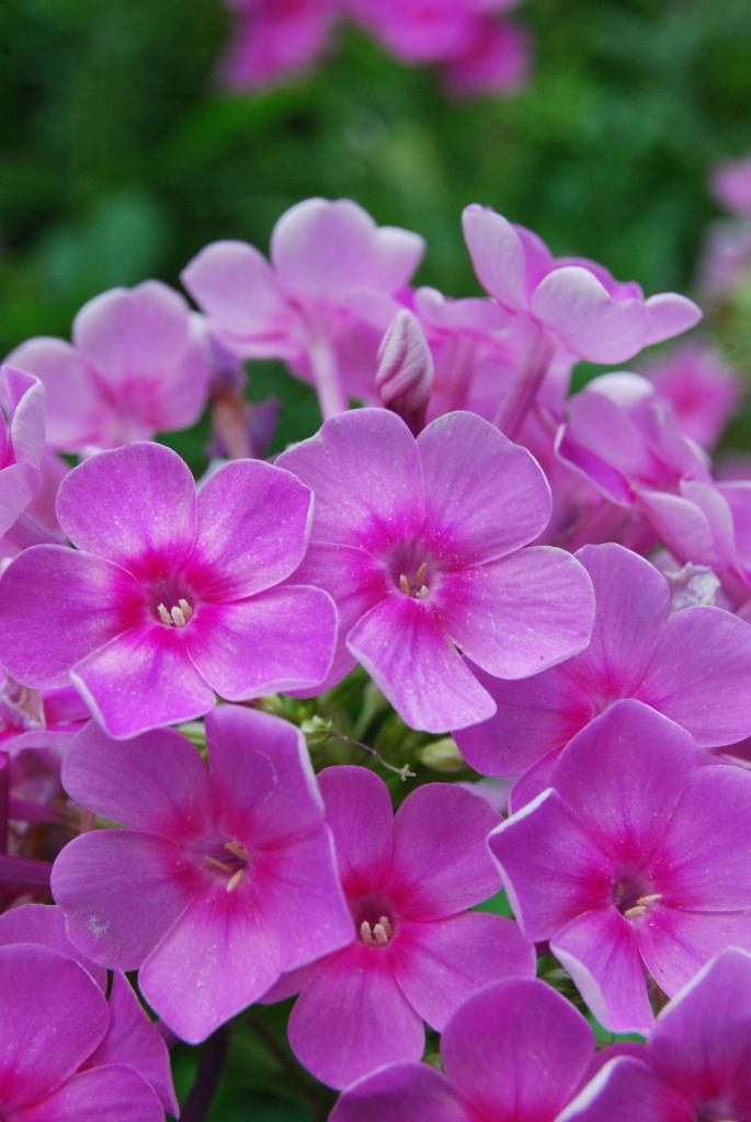 Phlox paniculata - Garden Phlox