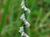 Grass Leaf Ladies Tresses