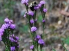 Grass Leaf Blazing Star