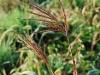 Andropogon gerardii