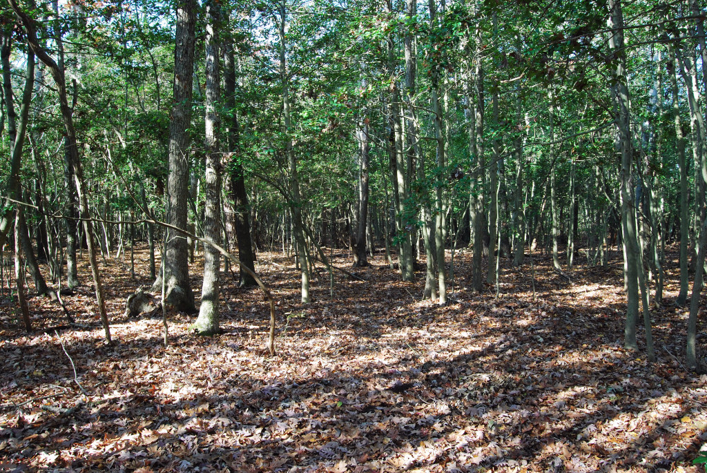 American Holly in Understory