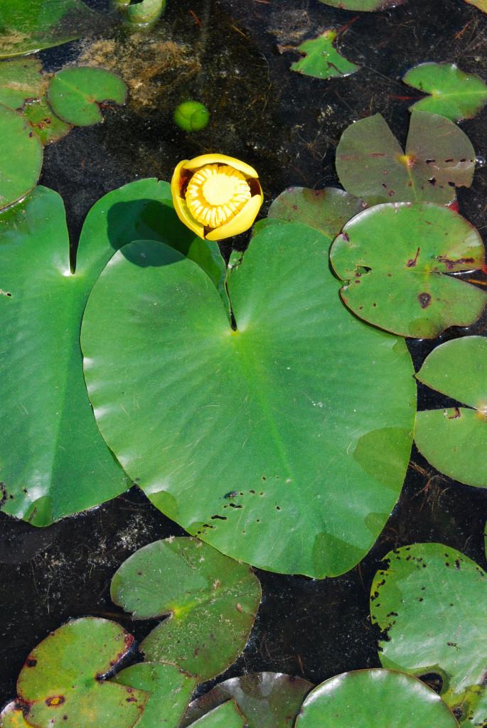 Nuphar lutea v. variegata