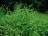 Persicaria perfoliatum