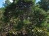 "Pinus rigida ""nana"""