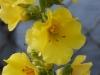 Verbascum phlomides