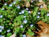 Veronica persica - Bird\'s eye Speedwell