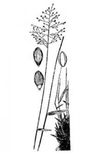 Dichanthelium ensifolium H&C drawing